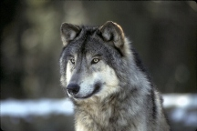 Real Live Wolf